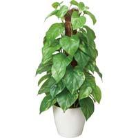 人工植物 フレッシュポールポトス 高さ480